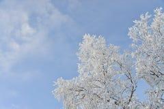 冻雪报道的树和分支 美好的多云横向天空白色冬天 在背景的蓝天 免版税库存照片