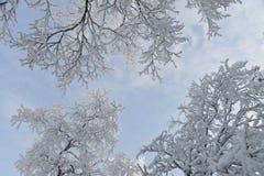 冻雪报道的树和分支 美好的多云横向天空白色冬天 在背景的蓝天 免版税库存图片