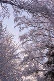 雪报道的美好的分支在奇迹冬天森林里 免版税图库摄影
