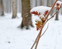 雪早期的春天 第一片叶子 免版税库存照片