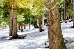 雪有阳光和阴影美丽的绿色杉木的落叶松属森林 库存照片