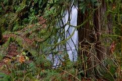 雪松在小瀑布旁边站立在Goldstream公园,不列颠哥伦比亚省 免版税库存图片