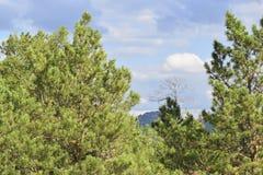 雪松在蓝天背景的杉树看法  库存照片