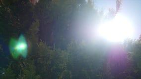 雪松在风蓝天分支有太阳背景 股票录像