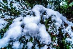 雪松的积雪的分支 免版税库存照片