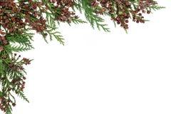 雪松赛普里斯Leyland边界 免版税库存照片
