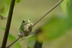 雪松青蛙灰色结构树 免版税库存照片