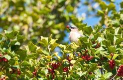 雪松waxwing的冬青树 免版税图库摄影