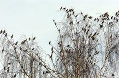 雪松waxwings 免版税图库摄影