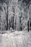 雪森林 库存照片