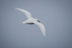 雪海燕在飞行中在南极洲 免版税库存图片