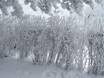 雪灌木 库存图片