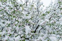雪灾难在树的绽放和收获期间的在摩尔多瓦 库存图片