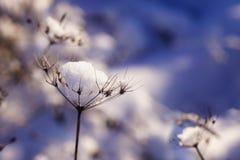 雪片断在一根干枝杈的在冬天 免版税图库摄影