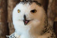 雪猫头鹰在背景的1年孤立 免版税库存照片