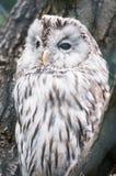 雪猫头鹰(拉特银币。 腹股沟淋巴肿块scandiacus) 免版税库存图片