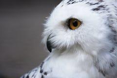 雪猫头鹰 库存照片