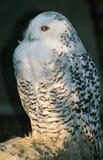 雪猫头鹰 免版税图库摄影