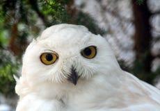 雪猫头鹰3 库存照片