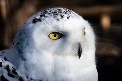 雪猫头鹰的头 图库摄影
