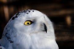 雪猫头鹰的头 库存照片