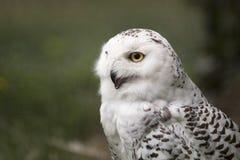 雪猫头鹰,侧视图,黄色眼睛 库存图片