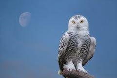 雪猫头鹰画象 库存图片