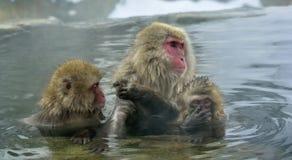 雪猴子在自然温泉 库存图片