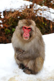 雪猴子(日本短尾猿) 免版税库存照片