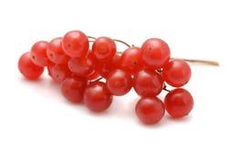 雪球莓果 库存图片