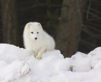 雪白北极深的狐狸 库存照片