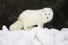 雪白北极深的狐狸 免版税库存图片