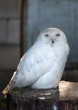 雪白色男性猫头鹰 免版税库存图片