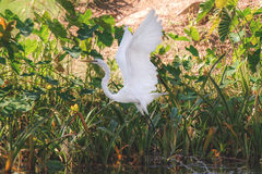 雪白色白鹭飞行 免版税图库摄影
