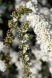 雪白绣线菊类的植物丰富的绽放:spirea的花和芽 图库摄影