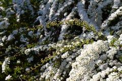 雪白绣线菊类的植物丰富的绽放:spirea的花和芽 免版税库存图片