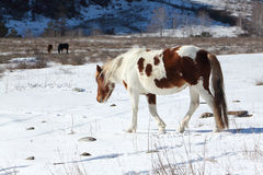 去从雪的一个牧场地的多斑点的马在山中 库存图片