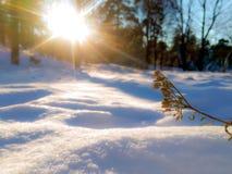 雪的干植物 库存照片