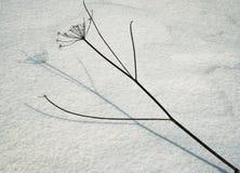 雪的干燥植物 免版税图库摄影
