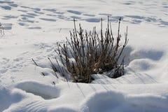 雪的干燥植物 免版税库存图片