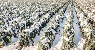 雪的成熟韭葱植物 免版税图库摄影