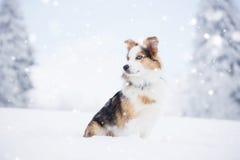 雪的澳大利亚牧羊人 库存图片
