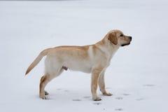 雪的站立的拉布拉多 免版税库存照片