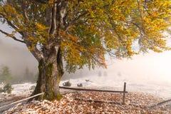 雪的第一个秋天 在雪的加拿大桦叶子 免版税库存图片