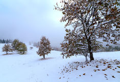 雪的第一个秋天 在雪的加拿大桦叶子 免版税库存照片