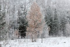 雪的美妙的冬天森林 库存图片