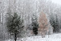 雪的美妙的冬天森林 库存照片