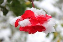雪的英国兰开斯特家族族徽 免版税库存照片