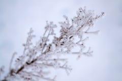 雪的,草甸干燥植物在冬天 免版税库存图片