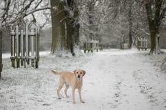 雪的黄色拉布拉多 库存图片